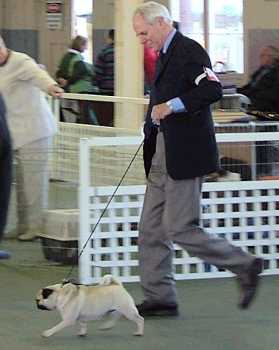 Dad showing a pug June 2004